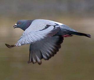 http://lancien.cowblog.fr/images/Animaux1/pigeon-copie-1.jpg