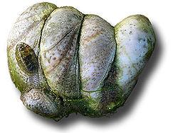 http://lancien.cowblog.fr/images/Animaux2/250pxCrepidulesgroupe.jpg