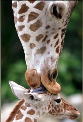 http://lancien.cowblog.fr/images/Animaux2/girafe-copie-1.jpg