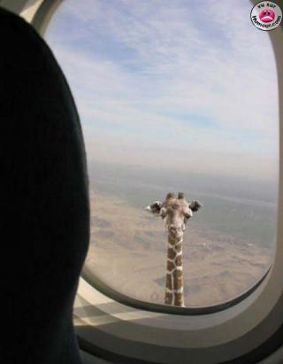 http://lancien.cowblog.fr/images/Animaux2/girafehublot.jpg