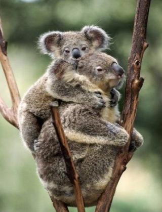 http://lancien.cowblog.fr/images/Animaux2/koala.jpg