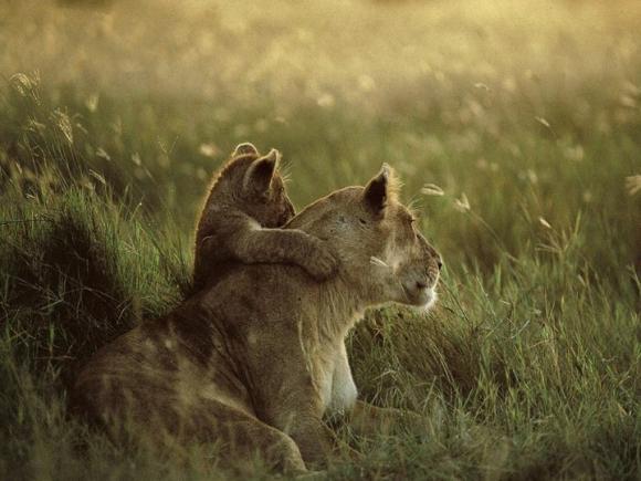http://lancien.cowblog.fr/images/Animaux2/lions007.jpg