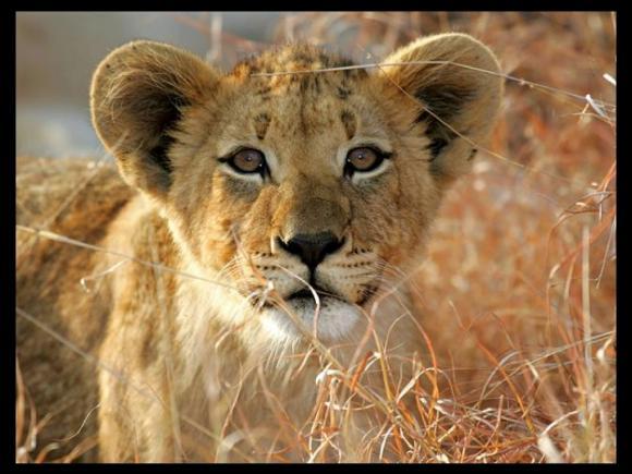 http://lancien.cowblog.fr/images/Animaux2/lions008.jpg