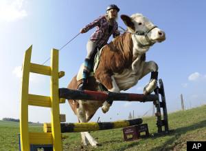 http://lancien.cowblog.fr/images/Animaux2/sCOWJUMPJUMPINGCOWlarge300.jpg