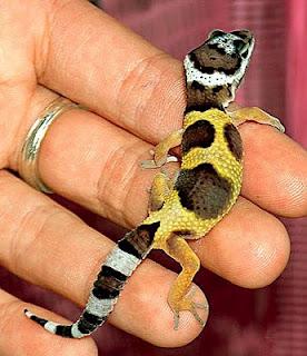 http://lancien.cowblog.fr/images/Animaux3/babyleopardgeckoseanodell.jpg