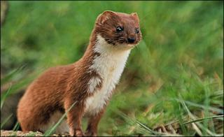http://lancien.cowblog.fr/images/Animaux5/weasel470470x289.jpg