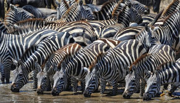 http://lancien.cowblog.fr/images/Animaux5/zebras.jpg