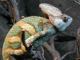 http://lancien.cowblog.fr/images/Animaux6/Chameleon007.jpg