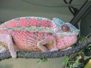 http://lancien.cowblog.fr/images/Animaux6/Chameleon010.jpg