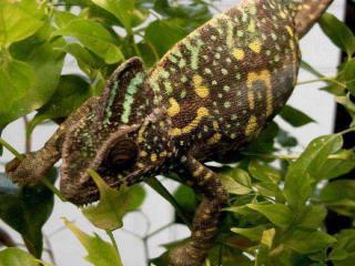 http://lancien.cowblog.fr/images/Animaux6/Chameleon011.jpg