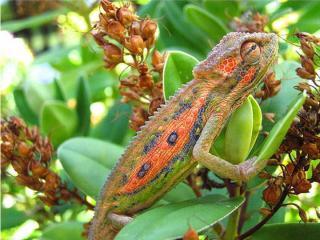 http://lancien.cowblog.fr/images/Animaux6/Chameleon014.jpg