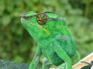 http://lancien.cowblog.fr/images/Animaux6/Chameleon018.jpg