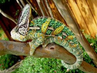 http://lancien.cowblog.fr/images/Animaux6/Chameleon022.jpg