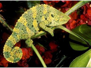 http://lancien.cowblog.fr/images/Animaux6/Chameleon027.jpg