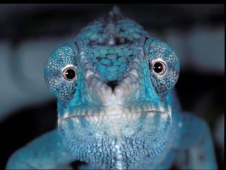 http://lancien.cowblog.fr/images/Animaux6/Chameleon028.jpg