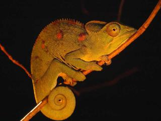 http://lancien.cowblog.fr/images/Animaux6/Chameleon029.jpg