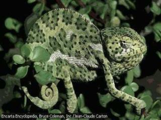 http://lancien.cowblog.fr/images/Animaux6/Chameleon039.jpg