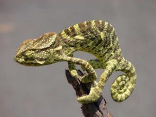 http://lancien.cowblog.fr/images/Animaux6/Chameleon040-copie-1.jpg