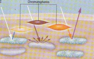 http://lancien.cowblog.fr/images/Animaux6/chromatophores1.jpg