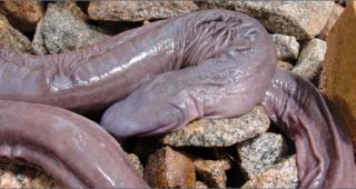http://lancien.cowblog.fr/images/Animaux6/serpentpenis2-copie-1.jpg