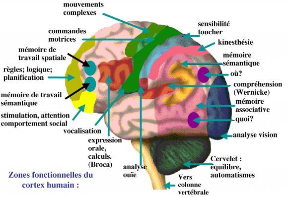 http://lancien.cowblog.fr/images/Cerveau1/2371621.jpg