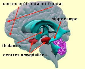 http://lancien.cowblog.fr/images/Cerveau1/amygdales.jpg