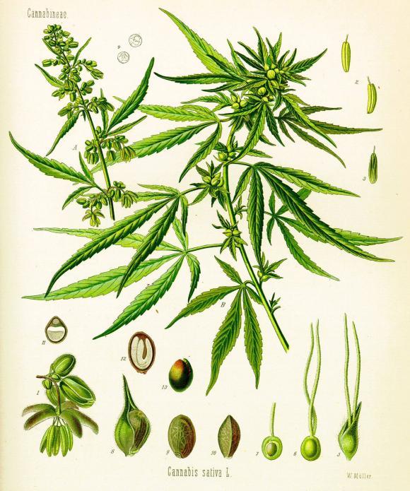 http://lancien.cowblog.fr/images/Cerveau1/cannabis.jpg
