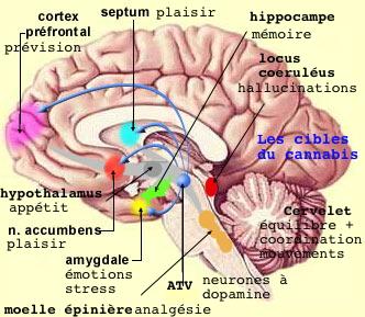 http://lancien.cowblog.fr/images/Cerveau1/ciblescannabis.jpg