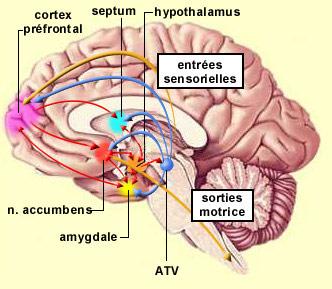 http://lancien.cowblog.fr/images/Cerveau1/circuitrecompense.jpg