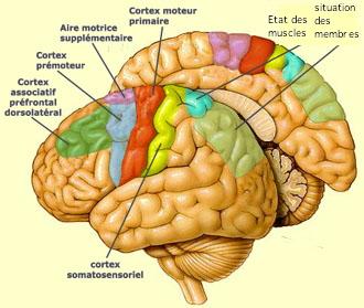 http://lancien.cowblog.fr/images/Cerveau1/cortexmoteurannotecopie.jpg