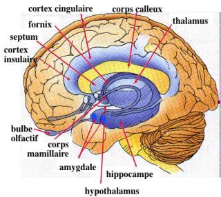 http://lancien.cowblog.fr/images/Cerveau1/emotionnelamygdales.jpg