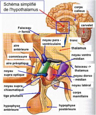http://lancien.cowblog.fr/images/Cerveau1/hypothalamus.jpg
