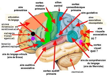http://lancien.cowblog.fr/images/Cerveau1/memoirepercept.jpg