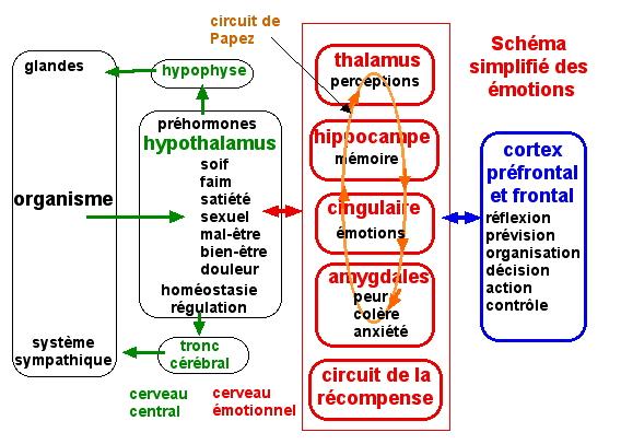http://lancien.cowblog.fr/images/Cerveau1/schemaemotions.jpg