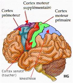 http://lancien.cowblog.fr/images/Cerveau1/schemasensations.jpg