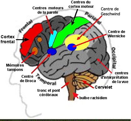 http://lancien.cowblog.fr/images/Cerveau2/centresparole.jpg