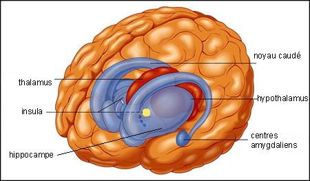 http://lancien.cowblog.fr/images/Cerveau2/cerveaucentraletinsula.jpg