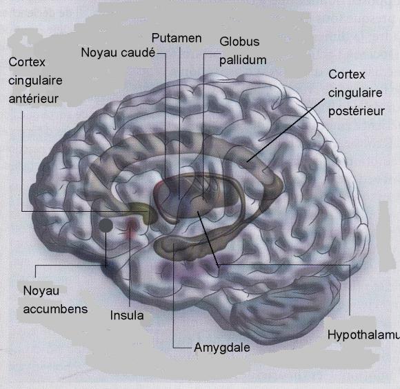 http://lancien.cowblog.fr/images/Cerveau2/cerveauemotions-copie-1.jpg