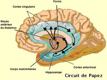http://lancien.cowblog.fr/images/Cerveau2/circuitPapez-copie-1.jpg