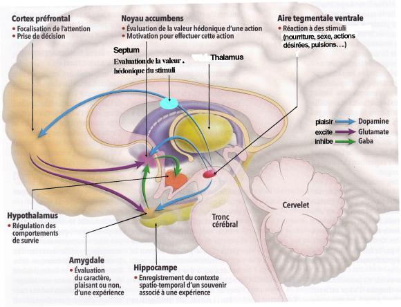 http://lancien.cowblog.fr/images/Cerveau2/circuitrecompenseinter.jpg