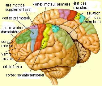 http://lancien.cowblog.fr/images/Cerveau2/cortexmoteurschema.jpg
