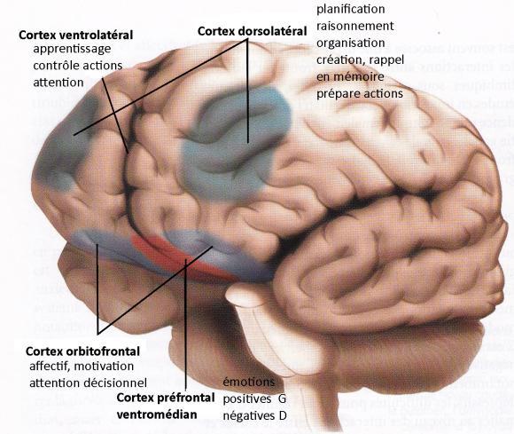 http://lancien.cowblog.fr/images/Cerveau2/cortexprefrontal2H.jpg
