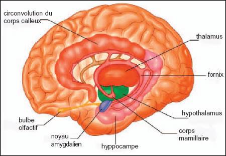 http://lancien.cowblog.fr/images/Cerveau2/limbic-copie-1.jpg