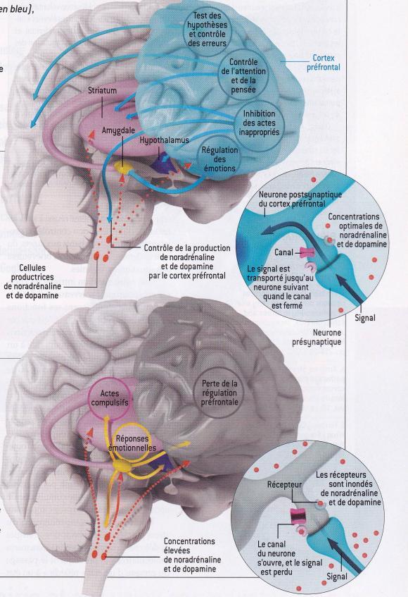 http://lancien.cowblog.fr/images/Cerveau2/prefrontalstress.jpg