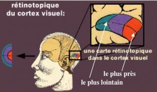 http://lancien.cowblog.fr/images/Cerveau2/retinotropique.jpg