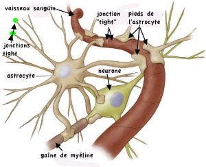 http://lancien.cowblog.fr/images/Cerveau3/astrocyte.jpg