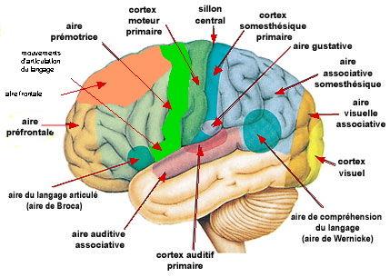 http://lancien.cowblog.fr/images/Cerveau3/cortexperception.jpg