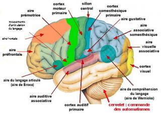 http://lancien.cowblog.fr/images/Cerveau3/cortexperceptionautomates.jpg