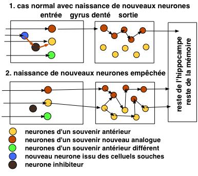http://lancien.cowblog.fr/images/Cerveau3/neuroneshippocampe.jpg