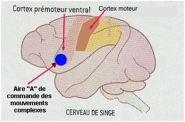 http://lancien.cowblog.fr/images/Cerveau3/neuronesmiroirscopie.jpg